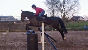 Handsome bay gelding