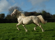 STUNNING CREMELLO WELSHPART-BRED LICENSED STALLION WITH A WONDERFUL TEMPERAMENT AND DNA TESTED TO BREED PALOMINO AND BUCKSKIN/DUN