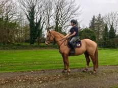 Fantastic 3yr Old Gelding Harelequin Du Carel Just Backed