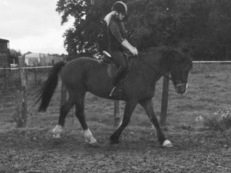 14.3/15hh Welsh D for part loan to stay at present yard