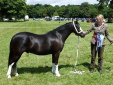 Black Welsh sec A gelding 4yo