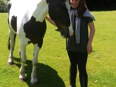 Lovely 15.1 hh Irish x cob Skewbald mare
