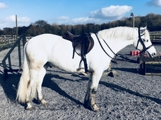 Quality exceptionally bred Connemara gelding