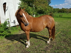 Welsh section c mare 13hh project 6yr unbroken