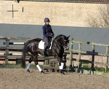 Stunning quality Connemara x tb alrounder who particular excels at dressage with the most wonderful temperament