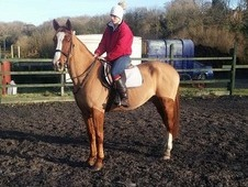 15. 2h Irish Gelding Allrounder/Project