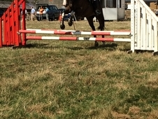 15. 3hh Bay Mare for loan/Sale