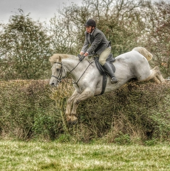 15.1, 11yo Registered Connemara Gelding