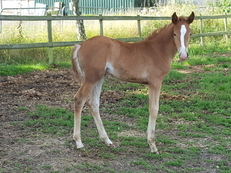 Exquisite Pure Bred Chestnut Filly