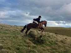 Registered Welsh Part Bred Mare for hacking/Hunting