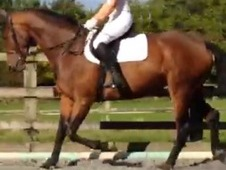 Homebred Excellent Quality KWPN X TB Potential Sports Horse