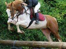 Hard to better 6yr Old 16. 2hh Hunter/Eventer/All-Rounder