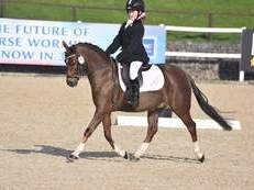Amazingly beautiful Welsh section B mare with amazing potential for BYRDS