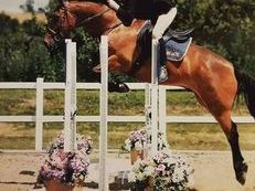 10 year old 15hh sports horse for sale