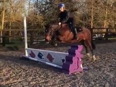 All rounder 13.2hh welsh x warmblood