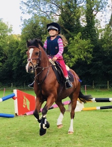 Welsh A 12h 15 yrs Gelding