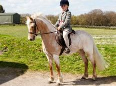 Eyecatching 12.2hh registered welsh palomino/cream roan mare