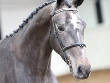 Stylish 17hh Grey Warmblood Gelding