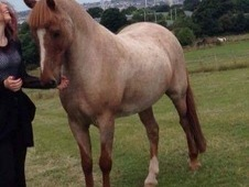 Stunning 13. 3hh strawberry roan, 13 this year, gelding