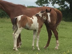 Stunning coloured warmblood colt