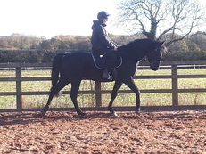 15.2hh 8 year old black gelding.  SOLD