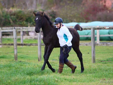 World Class Showjumping Bred Colt - Phillips Verdarco