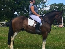 All Rounder Irish Sport Horse Gelding