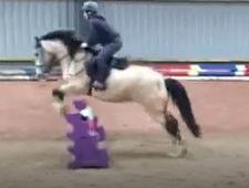 14. 2hh Welsh X mare - perfect PC/RC pony