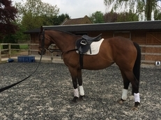 16.1hh Thoroughbred mare