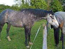 Handsome IDxTB Iron Grey Gelding