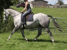 Gentlemanly Irish gelding