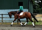 Gorgeous Thoroughbred Mare 15.3hh 12yrs