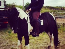 Stunning traditional 6yr old piebald Cob.