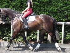 Super riding club horse/hunter
