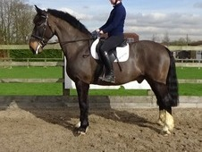 16. 2hh 9 yr old stunning all-rounder and safe hunter