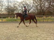 Super Dressage/Riding Club Horse