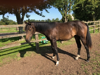 Yearling Filly Hanoverian