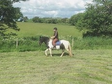reliable sharer wanted for 14.2hh cob
