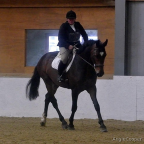 Lovely bay gelding for sale