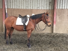 16.hh quality 4 year old gelding