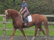 14.2h Welsh Sports Pony