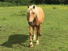 Special home wanted for palomino pony