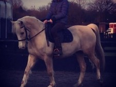 £10 Day, Stunning/Honest Palomino ISH Sports horse