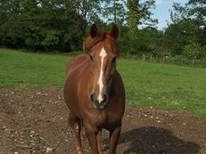 15hh 12 year old chestnut mare