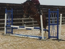 5 year old striking warmblood