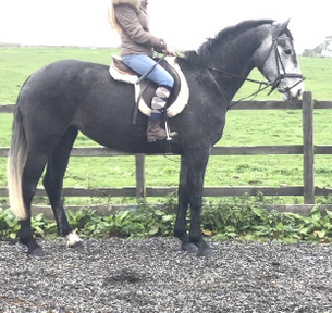 Cruising Registered 16.1 hh Steel Grey Quality Filly