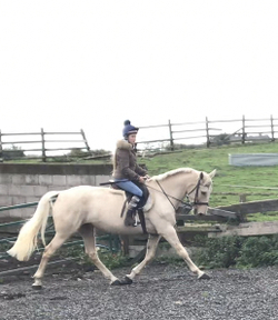 16.1 hh Palomino super safe I.D x Mare 9 years