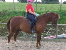 13. 1 hh welsh secton B gelding