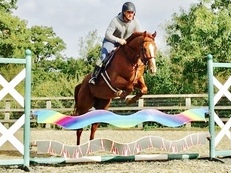 FOR SALE - 16hh 4yo Chestnut Mare
