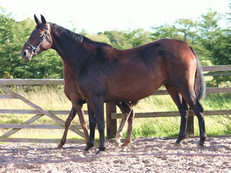 Dressage Broodmare Dancier x Weltmeyer